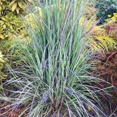 Little Bluestem Grass Garden Plant