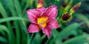 Little Grapette Daylily Garden Plant