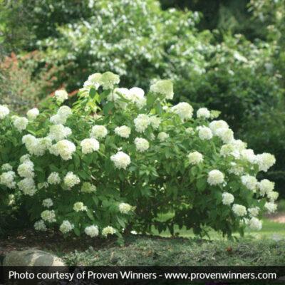 Little Lamb Hydrangea Garden Plant