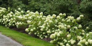 Little Lime Hydrangea Garden Plant