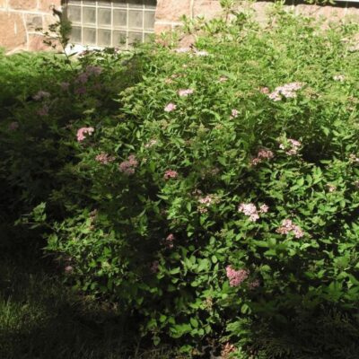 Little Princess Spirea Garden Plant