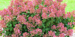 Little Quick Fire Hydrangea Garden Plant
