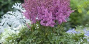 Little Vision in Pink Astilbe Garden Plant