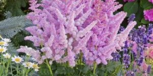 Little Vision in Purple Astilbe Garden Plant