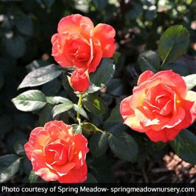 Livin Easy Rose Garden Plant