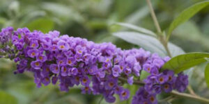 Lo and Behold Blue Chip Butterfly Bush Garden Plant