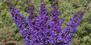 Lo and Behold Blue Chip Jr. Butterfly Bush Garden Plant
