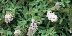 Lo and Behold Lilac Chip Butterfly Bush Garden Plant