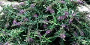 Lo and Behold Purple Haze Butterfly Bush Garden Plant