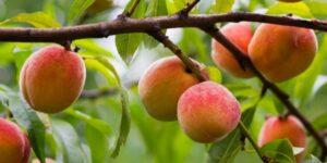 Loring Peach Tree Garden Plant