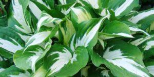 Loyalist Hosta Garden Plant