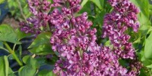 Ludwig Spaeth Lilac Garden Plant