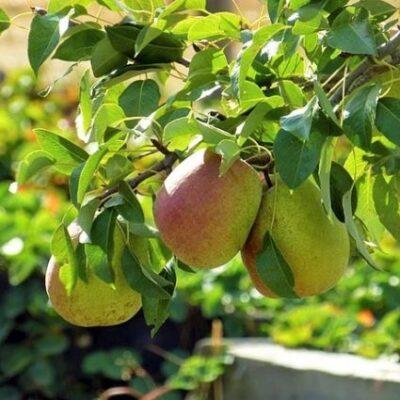 Luscious Pear Tree Garden Plant