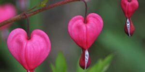 Luxuriant Bleeding Heart Garden Plant