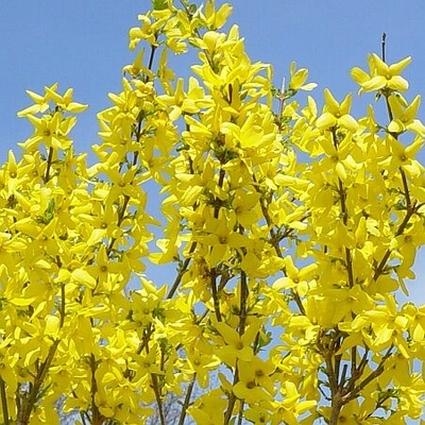 Lynwood Gold Forsythia Garden Plant