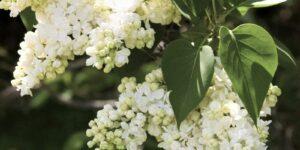 Madame Lemoine Lilac Garden Plant