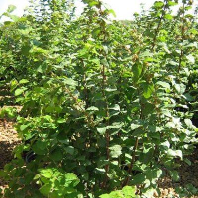 Magic Berry Snowberry Garden Plant