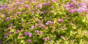 Magic Carpet Spirea Garden Plant