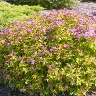Magic Carpet Spirea Garden Plant