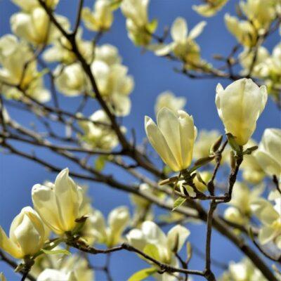 Magnolia Butterflies Garden Plant