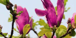 Magnolia Susan Garden Plant