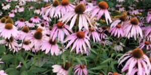 Magnus Purple Coneflower Garden Plant