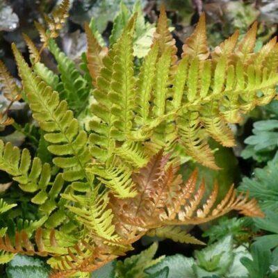 Male Fern Garden Plant