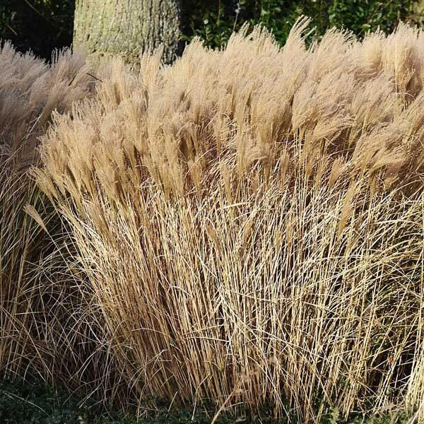 Malepartus Maiden Grass Garden Plant
