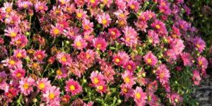 Mammoth Lavender Daisy Garden Mum Garden Plant