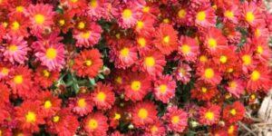 Mammoth Red Daisy Garden Mum Garden Plant