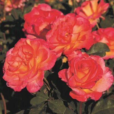 Mardi Gras Rose Garden Plant