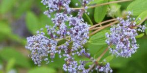 Marie Bleu California Lilac Garden Plant