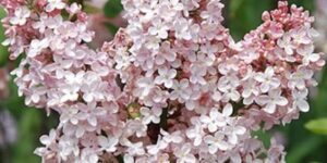 Marie Francis Lilac Garden Plant
