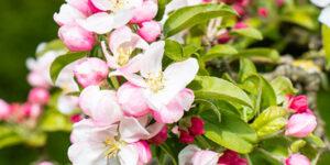 Marilee Crabapple Tree Garden Plant