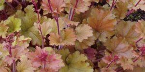 Marmalade Coral Bells Garden Plant
