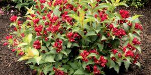 Maroon Swoon Weigela Garden Plant
