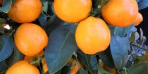 Marumi Kumquat Garden Plant