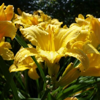 Mary Todd Daylily Garden Plant