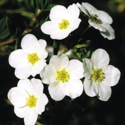 McKays White Potentilla Garden Plant