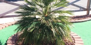 Mediterranean Fan Palm Tree Garden Plant