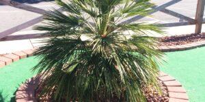 Mediterranean Fan Palm Tree Garden Plant