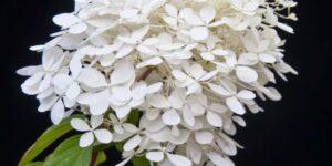 Mega Pearl Hydrangea Garden Plant