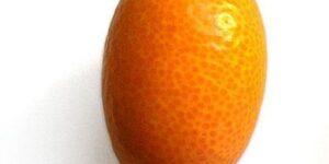 Meiwa Kumquat Garden Plant