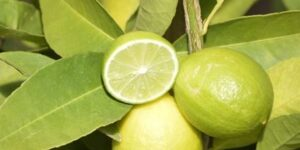 Mexican Key Lime Garden Plant