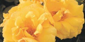 Midas Touch Rose Garden Plant