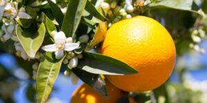 Midknight Valencia Orange Garden Plant