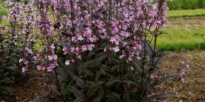 Midnight Masquerade Beardtongue Penstemon Garden Plant
