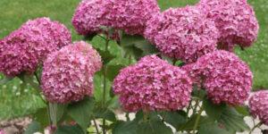Mini Mauvette Hydrangea Garden Plant