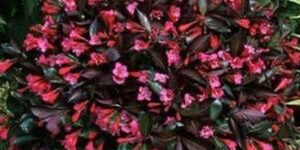 Minor Black Weigela Garden Plant