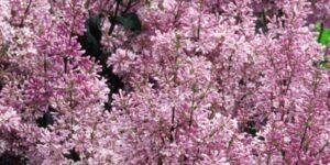 Minuet Lilac Garden Plant